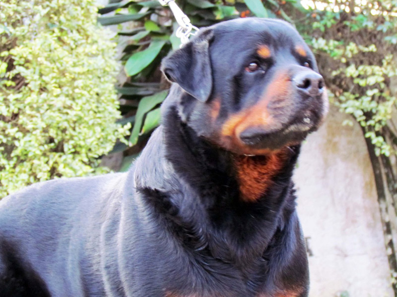Conheça nossos cães Canil von Greek | Canil de Rottweiler em São Paulo - Criação Selecionada e Filhotes de Rottweilers. GUARAREMA | PARAIBUNA - SP
