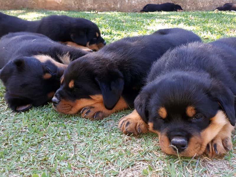 Veja nossas ninhadas disponíveis - Canil von Greek | Canil de Rottweiler em São Paulo - Criação Selecionada e Filhotes de Rottweilers. GUARAREMA | PARAIBUNA - SP